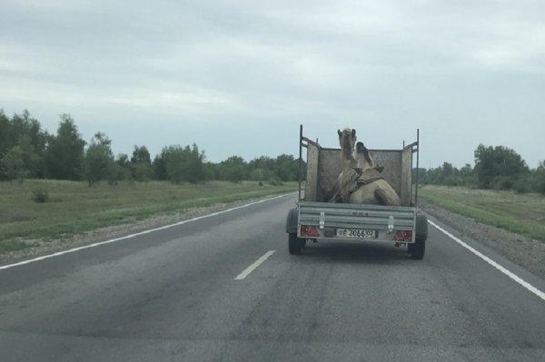 Перевозку верблюда в открытом прицепе высмеяли воронежцы