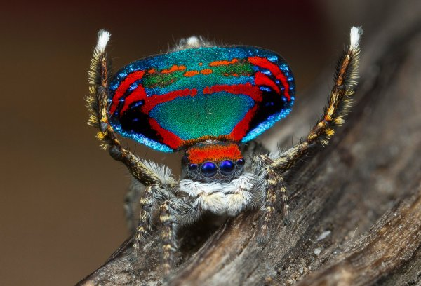 Биологи назвали цвета, на которые реагируют пауки в период брачных игр