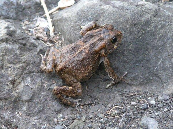 Глухая и морозостойкая: В Ангольских горах нашли новый вид африканской карликовой жабы