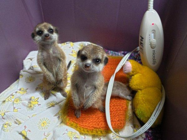 Детенышей сурикатов в зоопарке Красноярска назвали итальянскими именами