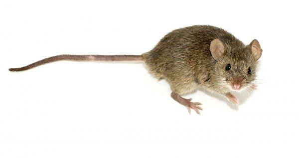 В Китае ученые впервые получили потомство от однополых мышей