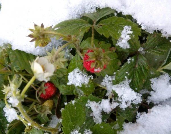 Снег вместо сливок: В Краснодаре собрали урожай клубники