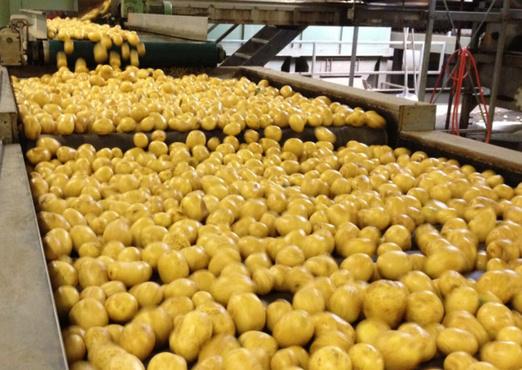 В Тюменской области откроется предприятие по переработке картофеля