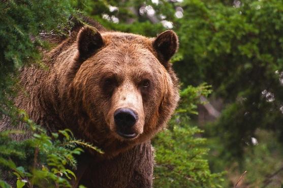 Голодный медведь гнался за автомобилем