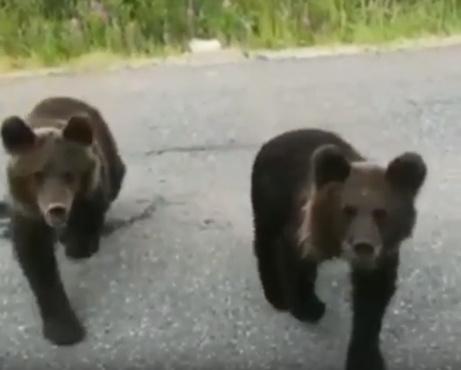 На Ямале медвежата воспитывают матершинников - видео