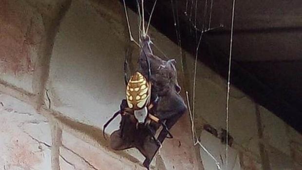 Паук умудрился поймать и съесть летучую мышь