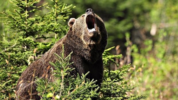 Медведь убил мужчину, отправившегося в лес за грибами
