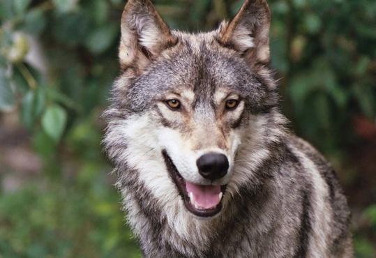 В Тюменской области волки растерзали около десятка овец
