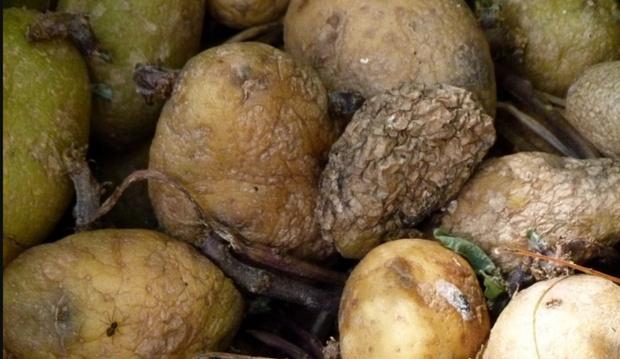 Четыре человека погибли из-за гниющего картофеля